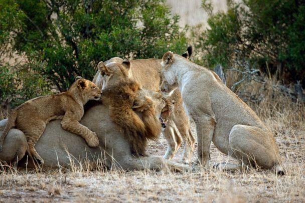 PHOTO: A pride of lions is seen in Kruger National Park, South Africa, in 2015. (Paul Funston/Panthera)