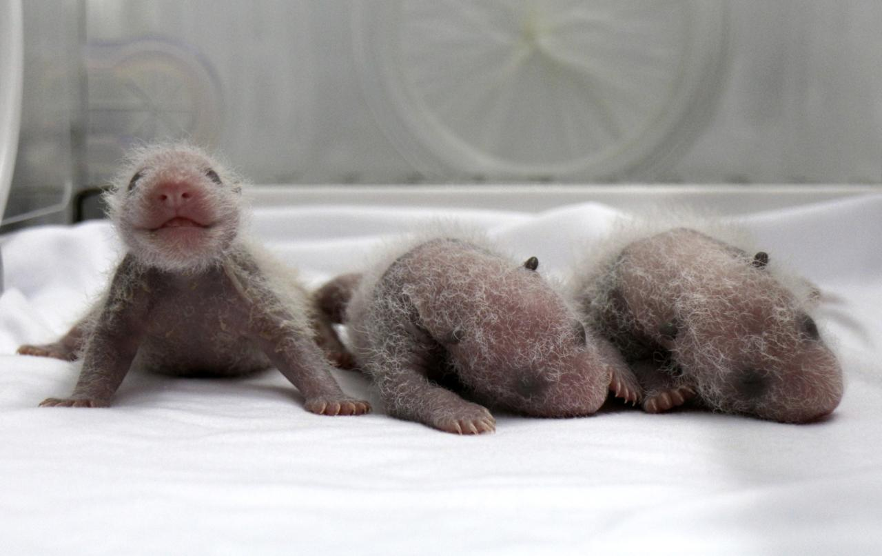 Newborn giant panda triplets, which were born to giant panda Juxiao (not pictured), are seen inside an incubator at the Chimelong Safari Park in Guangzhou, Guangdong province August 9, 2014. According to local media, this is the fourth set of giant panda triplets born with the help of artificial insemination procedures in China, and the birth is seen as a miracle due to the low reproduction rate of giant pandas. Picture taken August 9, 2014. REUTERS/China Daily (CHINA - Tags: ANIMALS SOCIETY TPX IMAGES OF THE DAY) CHINA OUT. NO COMMERCIAL OR EDITORIAL SALES IN CHINA