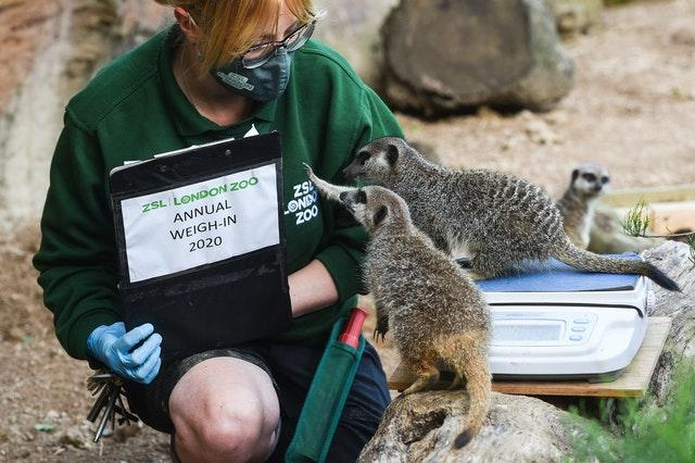 Senior keeper Laura Garrett weighs meerkats during the annual weigh-in at ZSL London Zoo