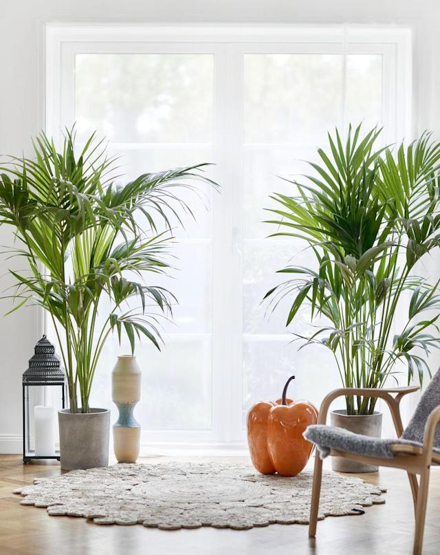 "<p>Bring a dose of the tropical life into your home with the Majesty Palm plant, an air-purifying option that requires between four to six hours of bright, indirect light every day. </p><p><a class=""link rapid-noclick-resp"" href=""https://go.redirectingat.com?id=74968X1596630&url=https%3A%2F%2Fwww.lowes.com%2Fpd%2FCosta-Farms-10-in-Majesty-Palm-in-Plastic-Pot-Mp10%2F1000605113&sref=https%3A%2F%2Fwww.goodhousekeeping.com%2Fhome%2Fgardening%2Fg32490113%2Fbest-aesthetic-plants%2F"" rel=""nofollow noopener"" target=""_blank"" data-ylk=""slk:SHOP NOW"">SHOP NOW</a></p>"