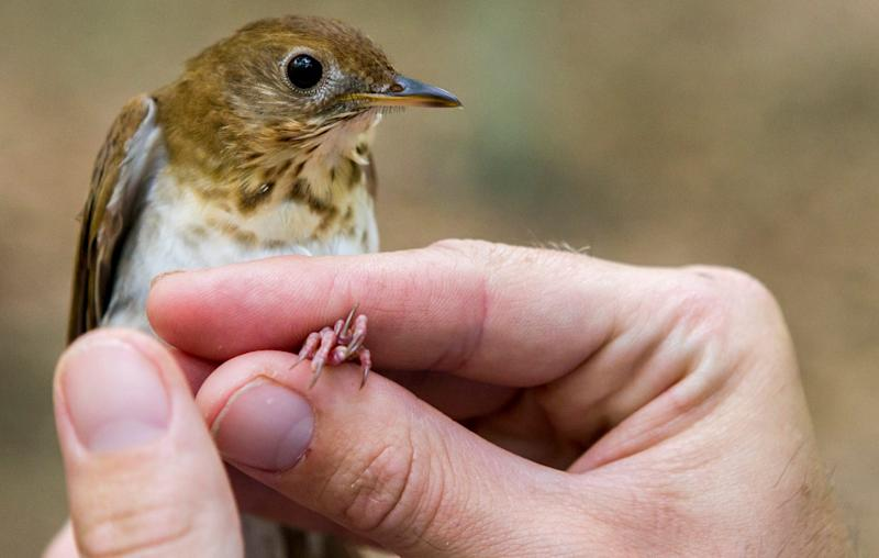 The veery thrush migrates every spring from the southern Amazon basin to northern breeding grounds stretchingfrom Delaware to Canada.