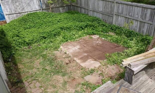 'I have spent thousands to attempt get rid of goutweed, more hours than you could imagine over 24 years. Goutweed is considerably devaluing my property,' shares Lynn Wagner, showing how goutweed has taken over her backyard in Halifax. 'To be stuck with this for a yard after working at it so long is a mental health stress. Goutweed does not leave my mind.'
