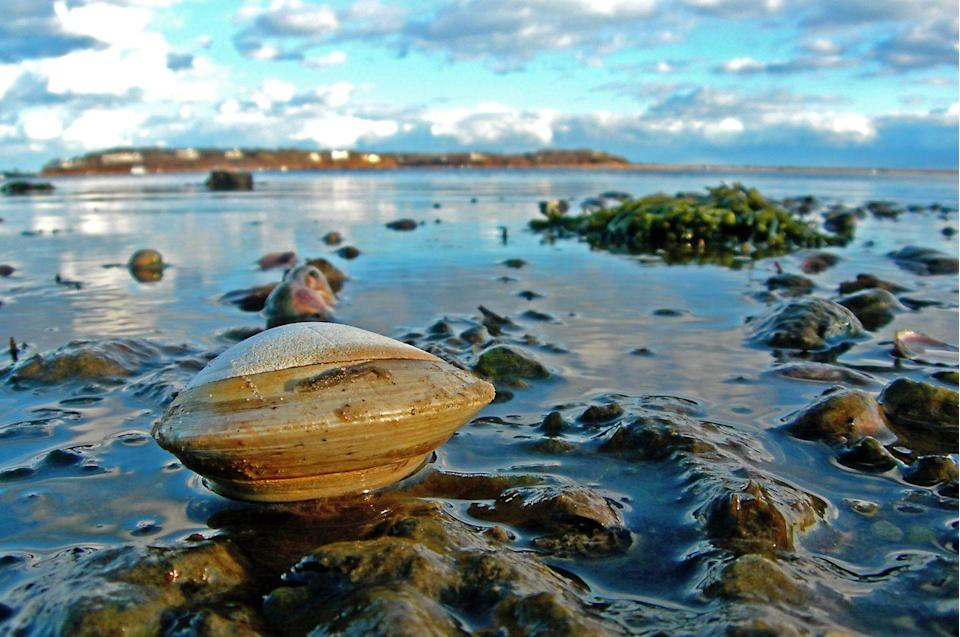 <p>A clam washes ashore on another beautiful day in Chatham.</p>