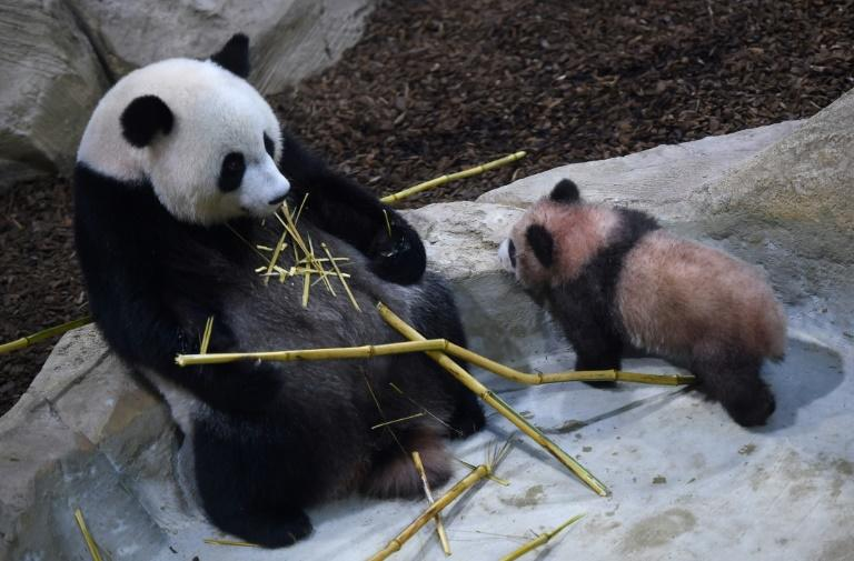 Panda cub Yuan Meng (R) and its mother Huan Huan, eating bamboo sticks, explore their new enclosure