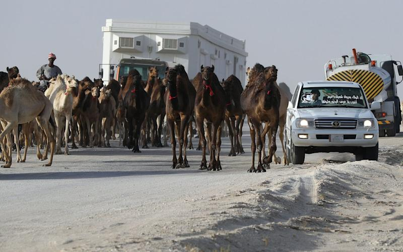 Around 12,000 camels and sheep have become the latest victims of the Gulf diplomatic crisis, being forced to trek back to Qatar from Saudi Arabia - Credit: AFP