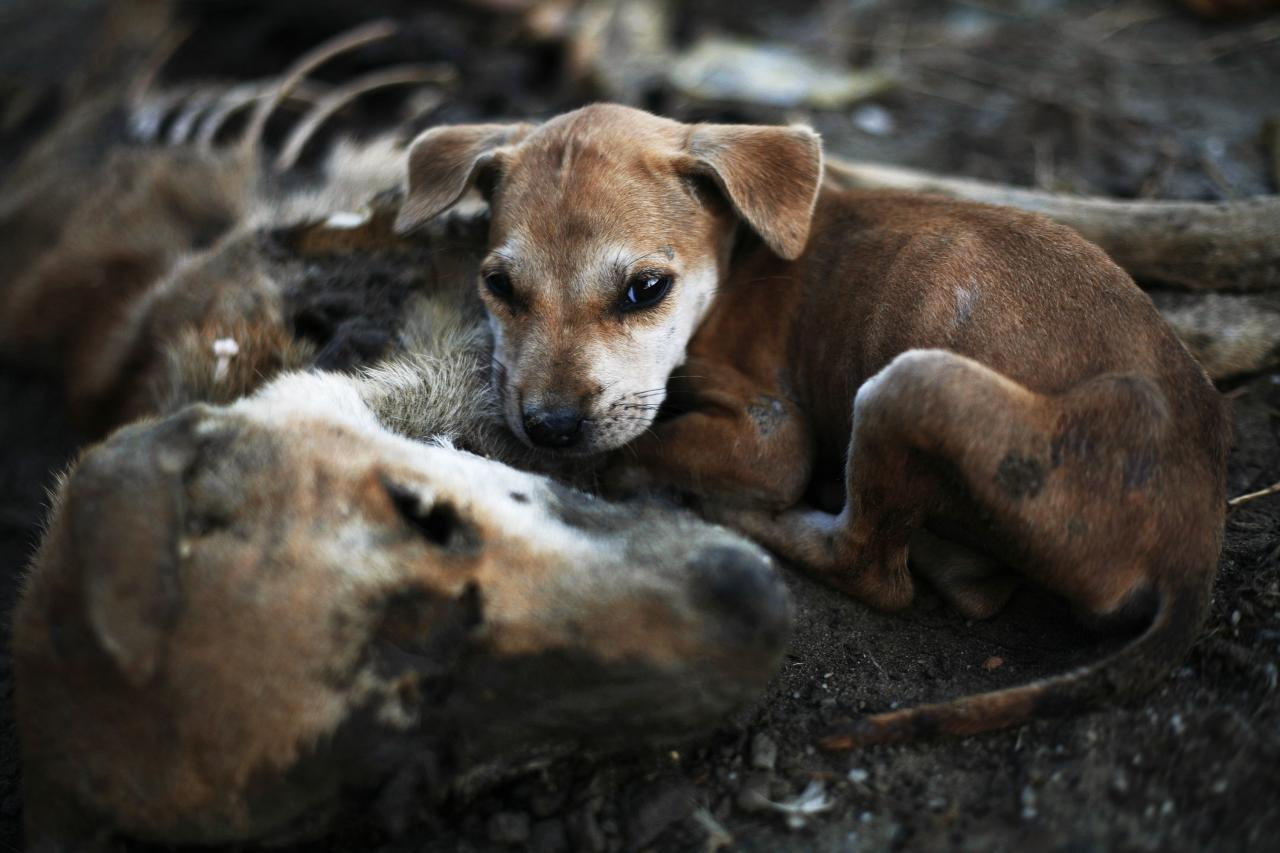 A puppy leans on remains of another dog local residents said was its mother, days after it was killed in the area burnt by violence at East Pikesake ward in Kyaukphyu November 5, 2012. Picture taken November 5, 2012. To match Special Report MYANMAR-FIGHTING/          REUTERS/Minzayar