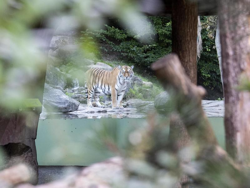 Male Tiger named Sayan in Zoo Zurich after the accident in the tiger enclosure where a keeper was killed: EPA/ENNIO LEANZA