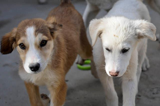 Afghanistan Nowzad Dogs charity