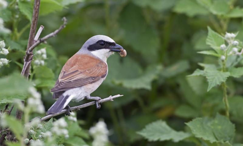 Male red-backed shrike (Lanius collurio) with spider prey in beak.