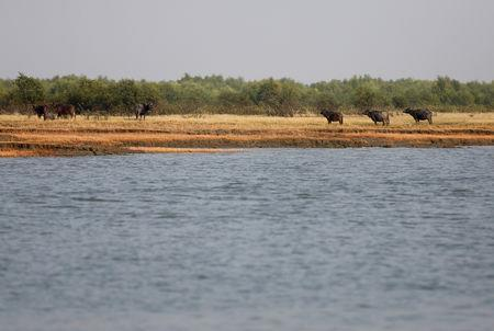 FILE PHOTO: Buffalos are seen in the Bhasan Char island in the Bay of Bengal, Bangladesh, February 2, 2017. REUTERS/Mohammad Ponir Hossain/File Photo