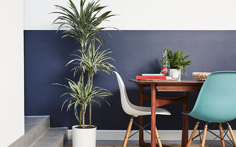 A Dracaena fragrans, from £8, an air purifier for sale by Patch