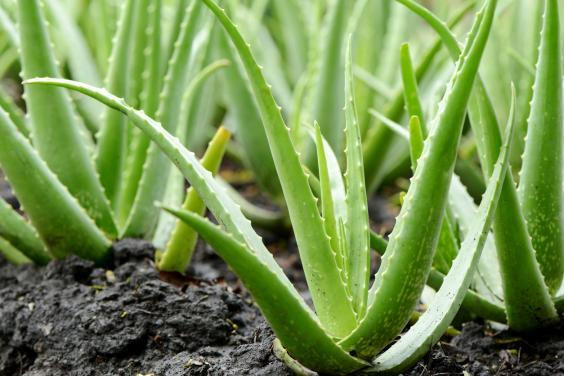 Applying an aloe vera gel can have a cooling effect on the skin (Getty Images/iStockphoto)
