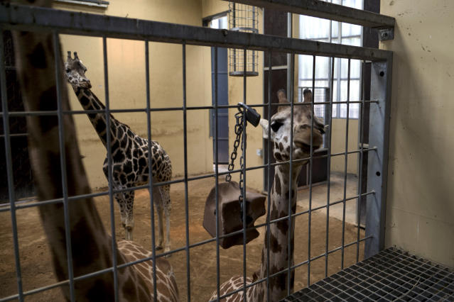 In this Wednesday, May 15, 2019 photo, a young giraffe, right, looks out at her keeper in Barcelona, Spain. Animal rights activists in Barcelona are celebrating a victory after the Spanish city ordered its municipal zoo to restrict the breeding of captive animals unless their young are destined to be reintroduced into the wild. (AP Photo/Renata Brito)
