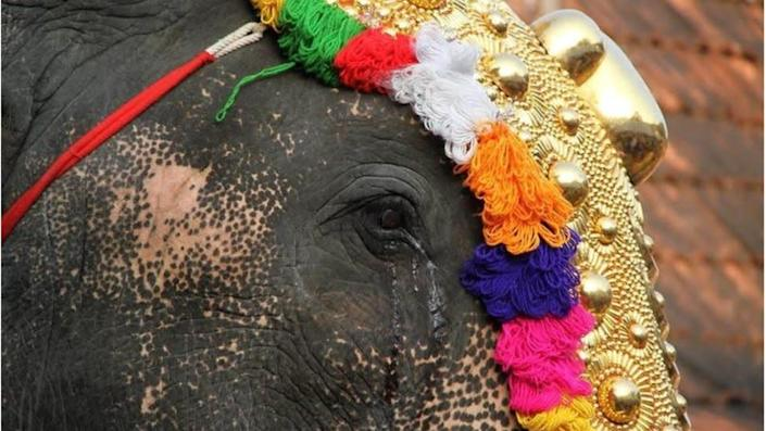 Elephants suffer a great deal of stress during festivals, Ms Iyer says
