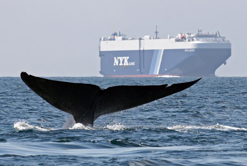 FILE - In this Aug. 14, 2008 file photo provided by John Calambokidis, a blue whale is shown near a cargo ship in the Santa Barbara Channel off the California coast. Large vessels traveling in and out of ports off the California coast will begin using new traffic lanes on Saturday, June 1, 2013, developed to protect whales from ship collisions. The new lanes change traffic into and out of San Francisco Bay, the Santa Barbara Channel and the ports of Los Angeles and Long Beach in an effort to steer ships away from where whales congregate. (AP Photo/Cascadia Research, John Calambokidis, File)