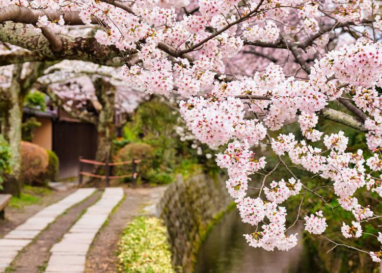 The cherry blossoms bloom in sequence, beginning with the lower altitude trees