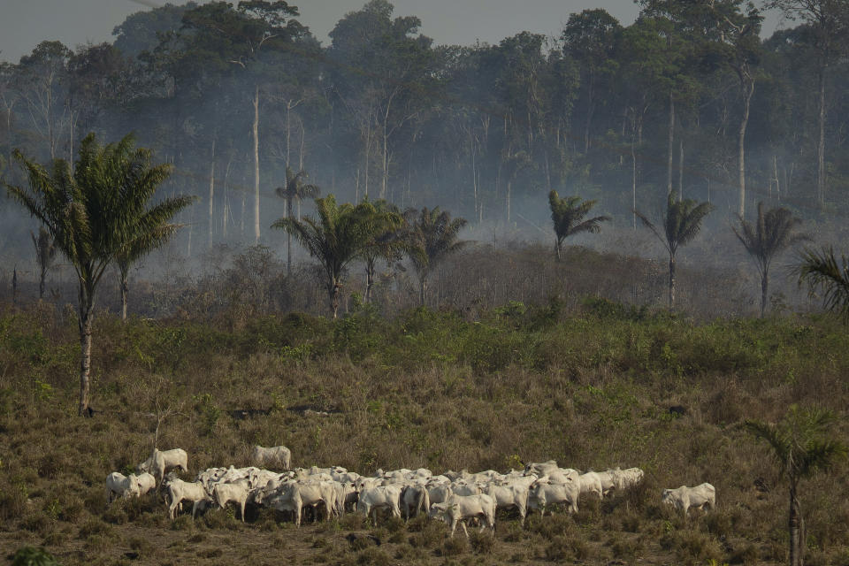 Cattle stand near a wooded area smoldering in the Alvorada da Amazonia region in Novo Progresso, Para state, Brazil, Sunday, Aug. 25, 2019. Leaders of the Group of Seven nations said Sunday they are preparing to help Brazil battle fires burning across the Amazon region and repair the damage as tens of thousands of soldiers got ready to join the fight against blazes that have caused global alarm. (AP Photo/Leo Correa)