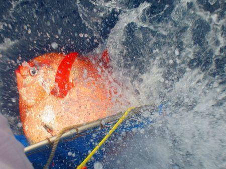 An opah is released with sensors to track temperatures as it dives off the California Coast in this undated handout photo provided by NOAA Fisheries/Southwest Fisheries Science Center. REUTERS/NOAA Fisheries/Southwest Fisheries Science Center/Handout