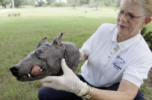 Phylis Canion holds the head of what she is calling a Chupacabra at her home in Cuero, Texas, Friday, Aug. 31, 2007. She found the strange looking animal dead outside her ranch and thinks it is responsible for killing many of her chickens. (AP Photo/Eric Gay)