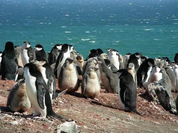 Named for the thin black band of feathers that extends from ear to ear under their heads, chinstrap penguins grow to about 2.2 feet (68 centimeters) tall, with males being larger and heavier than females.