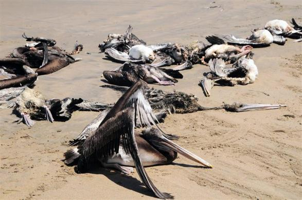 Dead pelicans are seen at Reventazon beach, close to the Illescas peninsula in Piura, April 27, 2012.