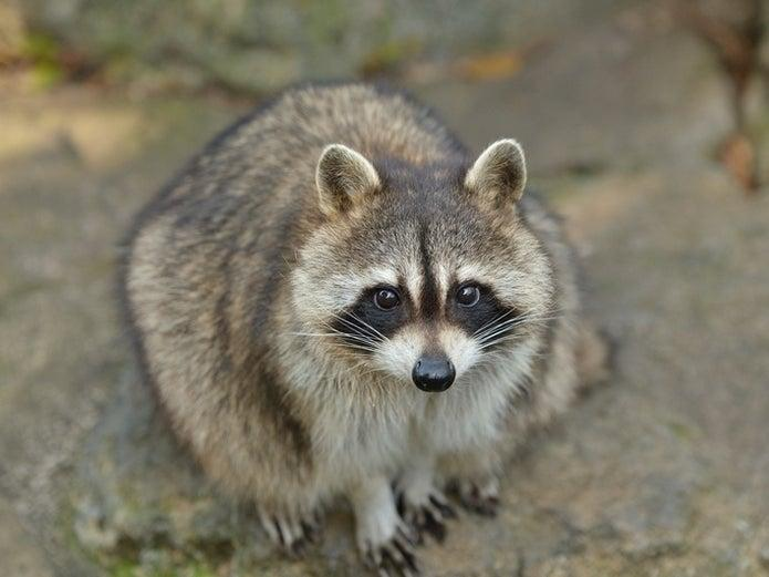 Remember the story of the mom beating back a raccoon that was attacking her child? Well, now the town is taking action. (Shutterstock)