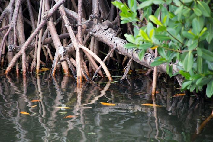 A closeup shot of mangrove roots at the waterline