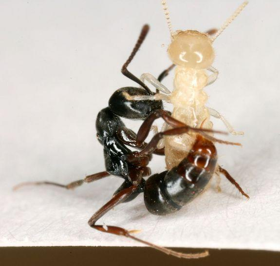 Asian needle ant stinging a termite