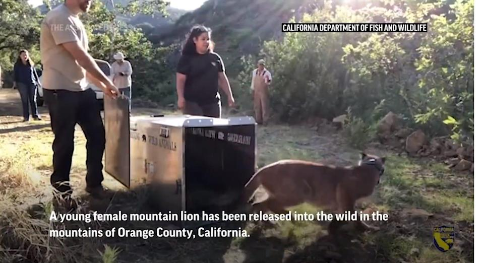A young female mountain lion goes free for the first time.