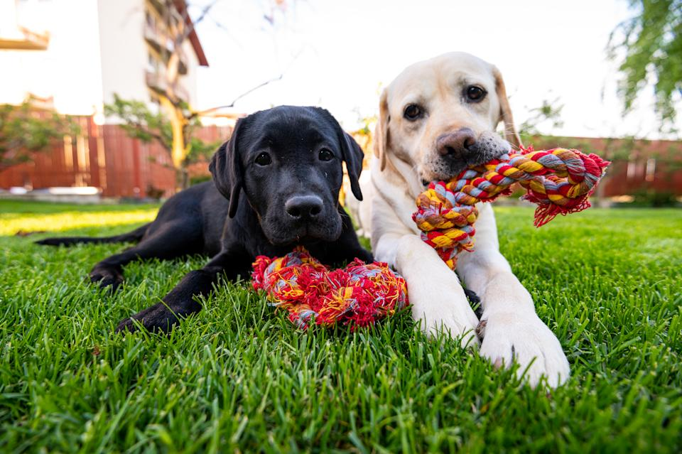 Labrador retriever dogs looking at camera while they are chewing a rope toy in backyard