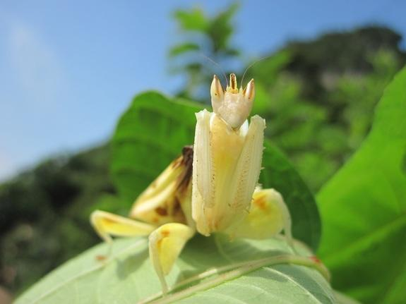 An adult female orchid mantis ( Hymenopus coronatus) on a leaf in the forest.
