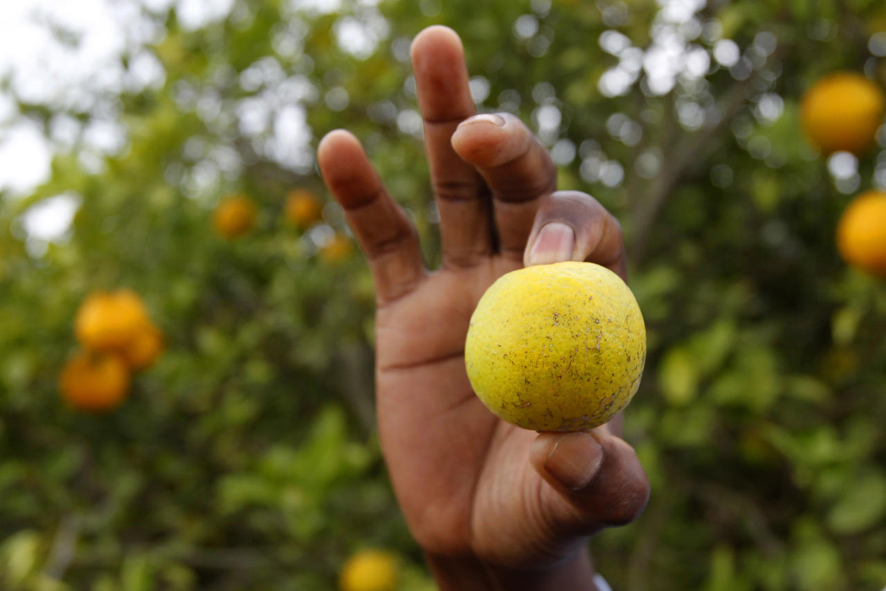 File - In this Jan. 24, 2012 file photo, citrus entomologist Mamoudou Setamou, holds an orange that is showing signs of citrus greening disease in a grove in San Juan, Texas. The California Department of Food and Agriculture announced Friday that citrus greening, also known as huanglongbing, has been discovered in lemon/pummelo tree in a residential neighborhood of Los Angeles County. The bacterial disease is carried by the Asian citrus psyllid and attacks the vascular system of trees. (AP Photo/The Monitor, Nathan Lambrecht, File) MAGS OUT; TV OUT