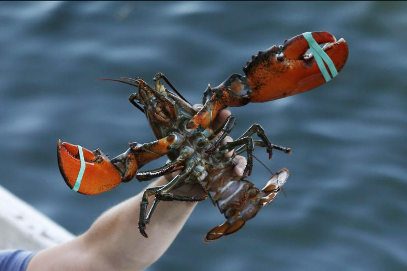 In this Saturday, Aug. 24, 2019 photo, a lobster is held by a fisherman at Cape Porpoise in Kennebunkport, Maine. (AP Photo/Robert F. Bukaty)