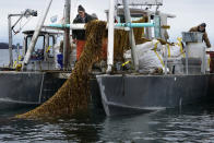 Seaweed farmers David Leith, left, and Stewart Hunt haul in a line of kelp for harvesting, Thursday, April 29, 2021, off the coast of Cumberland, Maine. Maine's seaweed farmers are in the midst of a spring harvest that is almost certain to break state records (AP Photo/Robert F. Bukaty)