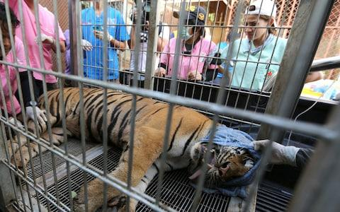 A sedated tiger lies inside a cage prior to its removal from the Tiger Temple in Kanchanaburi - Credit: NARONG SANGNAK/EPA