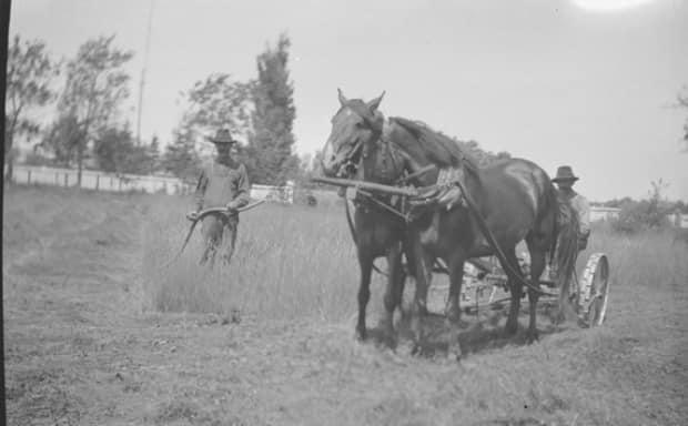 Daniel McInnis and Samuel Finlayson in a P.E.I. field cutting and harvesting hay using horses, circa 1900.   (PARO - image credit)