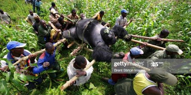 Conservation rangers from an anti-poaching unit work with locals to evacuate the bodies of four mountain gorillas killed in mysterious circumstances in the park, July 24, 2007, Virunga National Park, Eastern Congo. Photo: Brent Stirton/Edit by Getty Images <br>