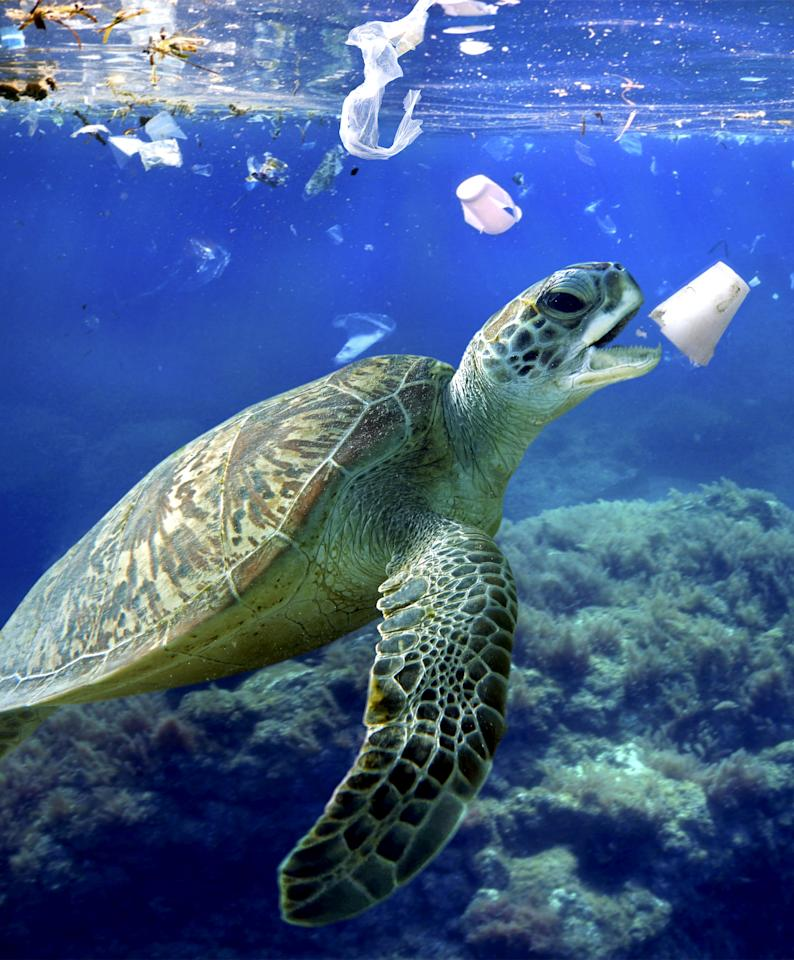 <p>A sea turtle eats a styrofoam cup. Plastic bags and other plastic garbage drift through oceans driven by wind and currents. (Composite photograph by Paulo de Oliveira/ARDEA/Caters News) </p>
