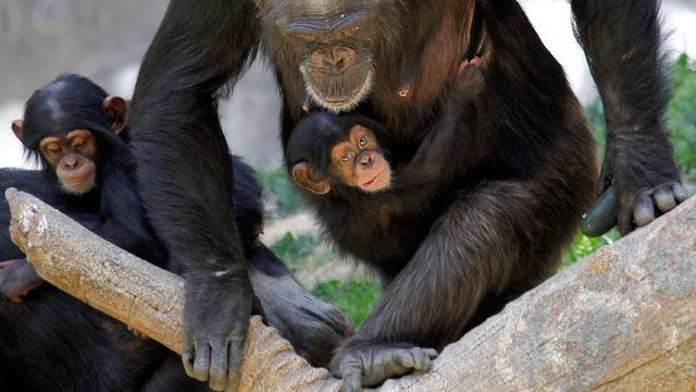 U.S. Proposes All Chimps Be Added to Endangered Species List