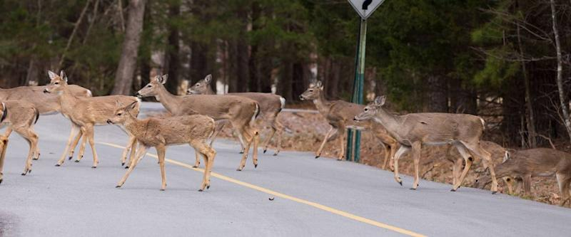 Whitetail Deer Crossing a Road in the Ozarks
