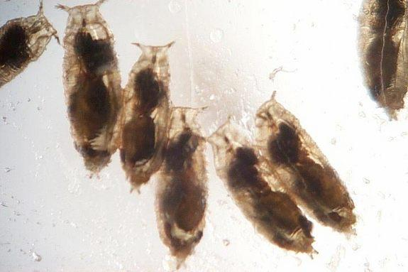 Female parasitic wasps have successfully infected fruit fly larvae, shown here; the wasps lay their eggs inside of the larvae, which then hatch and eat the maggots from the inside out.