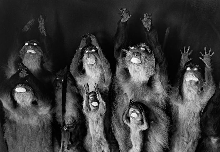 <p>Monkeys with raised arms. (Photograph by Rosamond Purcell/Courtesy of BOND/360) </p>