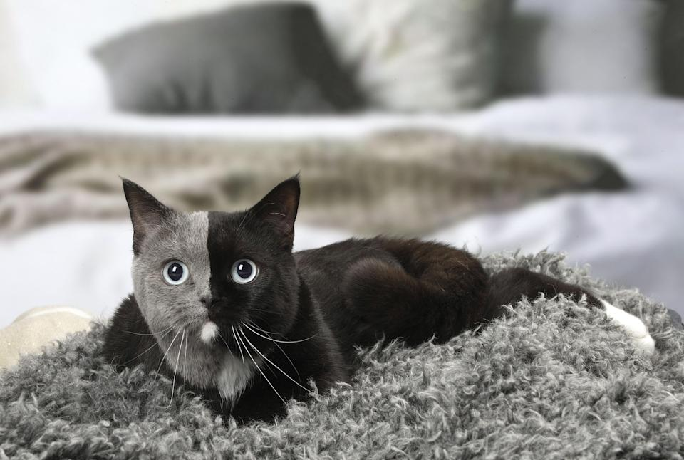 Felines with this mysterious look are known as chimera cats and in mythology, a chimera is a monster made up of different animals. (Caters)