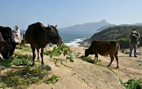 Volunteers have begun shipping feed into Hong Kong's Grass Island to stop the area's feral cows from starving
