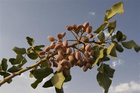 Pistachios are seen on the tree at a farm in Rafsanjan