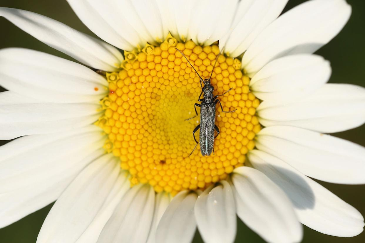 A beetle sits on a wild daisy at 'Thurrock Thameside Nature Park' on June 6, 2013 in Thurrock, England. The 120 acres of grass, bramble and shrub that make up 'Thurrock Thameside Nature Park' sits on top of what was Europe's largest landfill site overlooking the Essex coastline in the Thames Estuary. Over the last 50 years six of London's borough's had been dumping their rubbish on the site, (originally a huge gravel pit), which in places is over 30 metres thick. The £2.5Million GBP restoration project run by Essex Wildlife Trust and the landfill company Cory Environmental worked to compact the rubbish before adding a thick layer of clay, known as a pie-crust, over the waste, before covering it in soil. The area which when finished will encompass 845 acres is run by the Essex Wildlife Trust and is home to an array of wildlife including, Shrill Carder Bee, Great Crested Newt, Brown Hare, Avocet, Short-eared Owl, Barn Owl and Kingfisher. (Photo by Dan Kitwood/Getty Images)