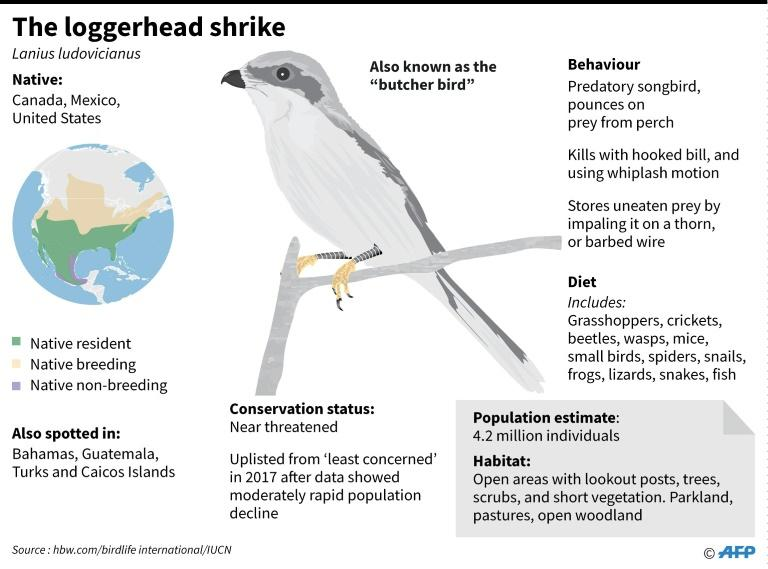 Factfile on North America's loggerhead shrike, also known as the 'butcher bird'