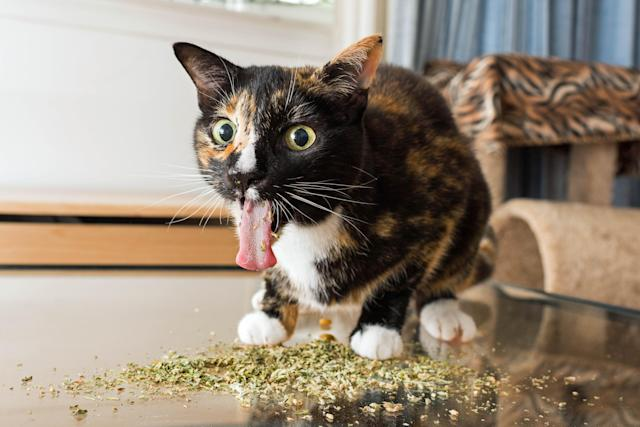 "<p>Andrew Marttila, who used to be allergic to cats, said: ""Whenever I'd give him [his roommate's cat] catnip, he'd pull the most amazing faces – I loved capturing them on camera."" (Photo: Andrew Marttila/Caters News) </p>"