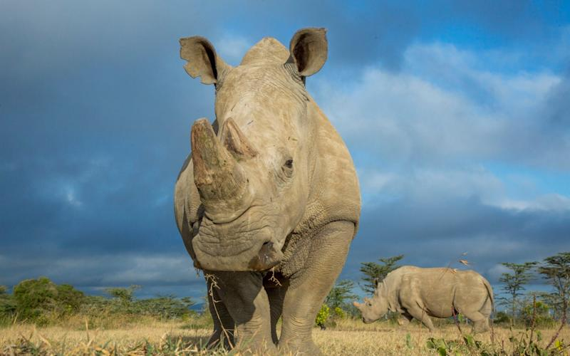Sudan, the last male northern white rhino died earlier this year  - Barcroft Media
