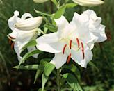 <p>White as snow with intense fragrance, this classic is a lily fan favorite. It's a popular choice for bridal bouquets. (Attention brides: Snip off the pollen to avoid dress stains!)</p><p><em><strong>Division: Oriental hybrid</strong></em></p>